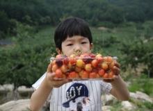 [영주]한라봉, 플롬코트, 별사과 등 '신소득 작목 개발' 박차